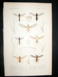 Cuvier C1840 Antique Hand Col Print. Insects 179